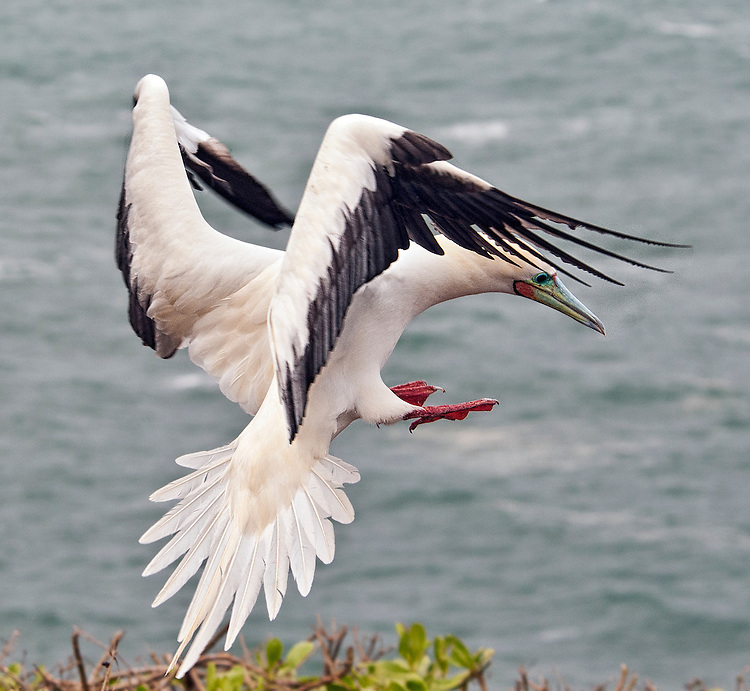 A red-footed booby (Sula sula) coming in for a landing at the Kilauea Point National Wildlife Refuge, Kauai, Hawaii