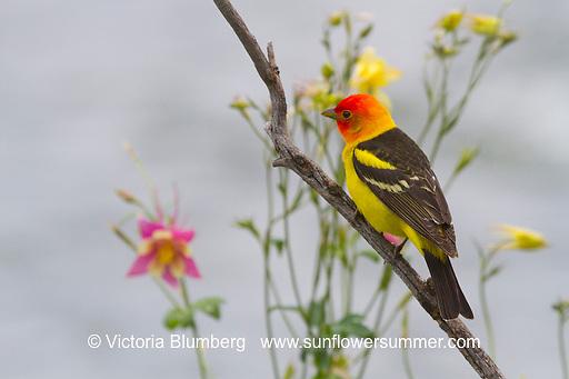 Western Tanager, Bird, Columbine