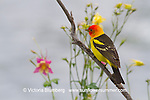 Western Tanager, Bird, Columbine
