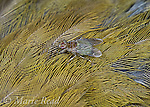 Hippoboscid fly, (=Feather Fly, Louse Fly) crawling in the feathers of an Ovenbird, New York, USA