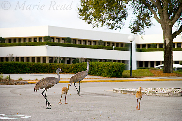 Greater Sandhill Cranes (Grus canadensis) (Florida race), adult and chick in suburban parking lot, Kissimmee, Florida, USA