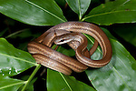 Salmon Bellied Racer Snake, Dryadophis melanolomus, Panama, Central America, Gamboa Reserve, Parque Nacional Soberania, curled on branch, Dryad Snake