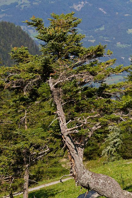Weisstanne, Abies alba, Pinaceae, Lawenatal, Triesen, Liechtenstein.