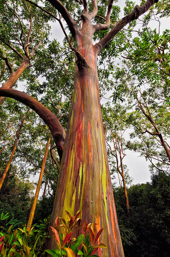 A rainbow eucalyptus tree in a grove by the side of the Hana Highway in Maui, Hawaii