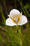 Pointed Mariposa Lily growing in the meadow in north Idaho