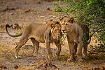African Lion (Panthera leo) two year old males, Mudumu National Park, Namibia