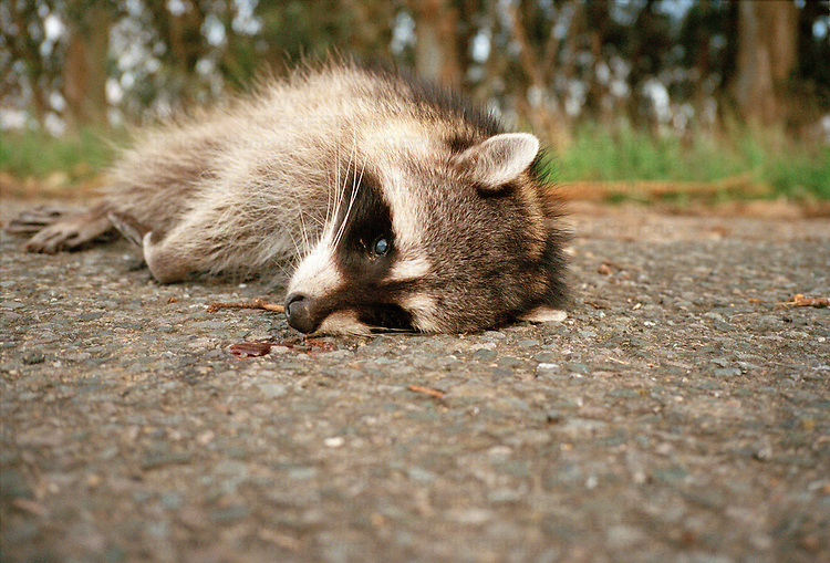 a dead racoon lies on the street