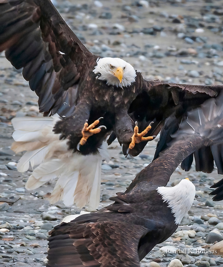 Bald eagles fight over salmon, Chilkat Bald Eagle Preserve, Haines, Alaska