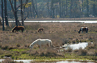 Assateague National Wildlife Refuge, Chincoteague; average 13 hands, diminutive horse, horse, colt, pony, group, herd, wild, band; managed, © Janet MacCausland, pinto, roan, equine, dwarfed, marsh, wetlands, water