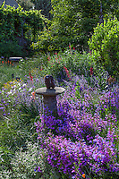Penstemon heterophyllus 'Catherine de la Mare', California native wildflower in bee-friendly, pollinator garden border with Nepeta 'Walker's Low'; Kate Frey Garden