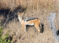 Black-backed Jackal, Kruger NP, SA