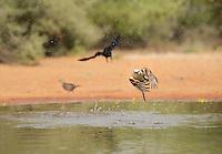 Scissor-tailed Flycatcher (Tyrannus forficatus), adult bathing, Rio Grande Valley, South Texas, Texas, USA