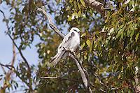 Black-Shouldered Kite, Cobar to Dubbo rd, NSW, Australia
