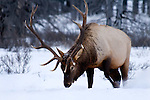 Wildlife - Elk/ Deer