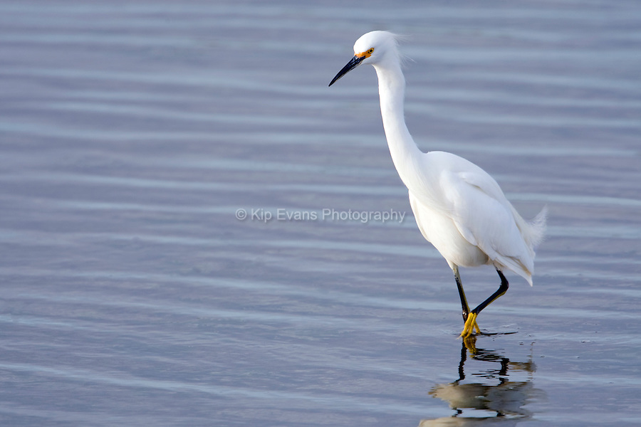 Snowy egret hunting fish