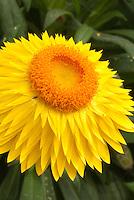 Bracteantha Dreamtime Jumbo Yellow aka Helichrysum strawflower