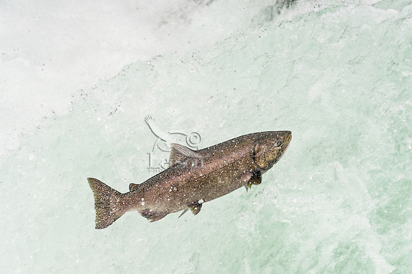 Spring Chinook Salmon or King Salmon (Oncorhynchus tshawytscha) jumping falls on spawning migration.  Umpqua River, OR.  May.