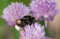 Dunkle Erdhummel, Bombus terrestris, beim Blütenbesuch auf Schnittlauch, Nektarsuche, Bestäubung, buff-tailed bumble bee