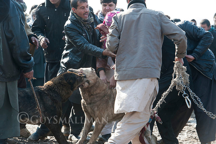 Illegal dog fight. Kabul 4-2-13 Dog fighting is illegal in Afghanistan as is the gambling that goes with it. However the events are so popular that they go ahead every week on the edge of Kabul in the Qasaba district and are attended by hundreds of people. Local Police accept bribes to keep order.
