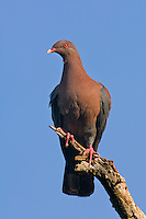 571180019 a wild red-billed pigeon columba flavirostris perches on a dead mesquite tree limb on a ranch in tamaulipas state mexico