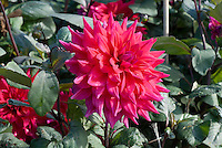 Dahlia 'Suffolk Punch'
