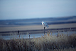 A snowy owl perches on a fence post and it watches for prey.
