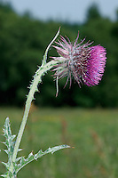 MUSK THISTLE Carduus nutans (Asteraceae) Height to 1m<br /> Upright and elegant biennial. The stems are cottony, mainly with spiny wings although stalks below flowers are spine-free. Grows in dry, grassy areas including verges and dunes. FLOWERS are carried in rayless heads, 3-5cm across, with reddish purple florets and purplish, spiny bracts; heads are solitary and nodding (Jun-Aug). FRUITS have unbranched hairs. LEAVES are pinnately lobed and spiny. STATUS-Locally common only in England and Wales; scarce or absent elsewhere.