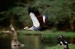 Gray Crowned Crane, Lake Manyara, Tanzania