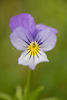 Wild pansy or Heartsease (Viola tricolour) close-up of flower. Lithuania. Mission: Lithuania, June 2009.