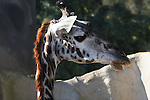 A baby Giraffe at the SanDiego Zoo.