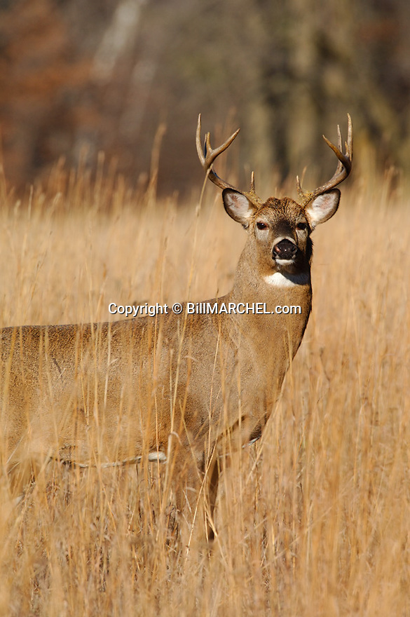 00274-316.12 White-tailed Deer Buck (DIGITAL) with 10 point antlers is in big bluestem during fall.  Bark in antlers from rubbing.  Hunt. V5R1