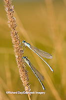 06105-00114 Two Familiar Bluets (Enallagma civile) damselflies in early morning dew, Marion Co., IL