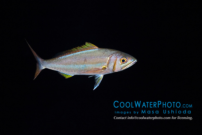 Forktail Snapper, Aphareus furca, night coloration, off Kona Coast, Big Island, Hawaii, Pacific Ocean