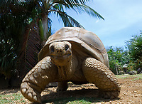 MUS, Mauritius, bei Rivière des Anguilles, La Vanille Crocodile Park & Nature Reserve: Riesenschildkroete | MUS, Mauritius, near Rivière des Anguilles, La Vanille Crocodile Park & Nature Reserve: giant turtle