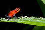 Strawberry Poison Frog (Oophaga pumilio), Costa Rica. These frogs have neurotoxins in their skin and bright colors that warn potential predators.