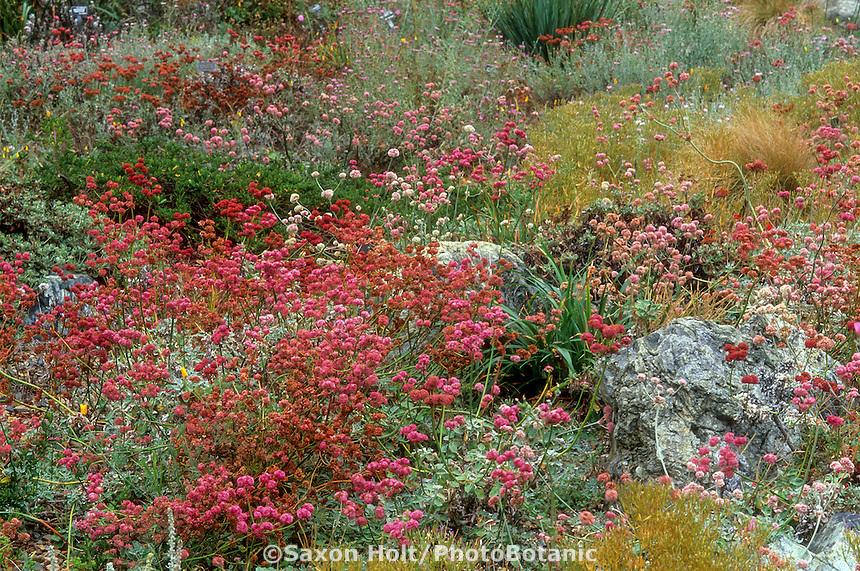 Eriogonum grande var. rubescens (Wild Buckwheat) flowering in late summer; groundcover lawn substitute, California native plant garden tapestry.