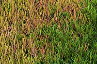 Calluna vulgaris 'Firefly', (Scottish Heather) left and Erica carnea 'Springwood Pink' (Winter Heath) carpeting foliage textures of heathers; Seattle Washington, Stacie Crooks design