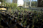 October 12, 2007, Raleigh, NC.. The interior of the greenhouse. The experimental trees, mostly loblolly pine and black cottonwoods, are at various stages of growth, from a few weeks, to several months..Greenhouses at the Department of Forest Biotechnology at North Carolina State University are being used to grow trees with lower lignin levels to be better used for future bio-fuel technologies.