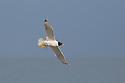 Pallas's Gulls (Ichthyaetus ichthyaetus) Black Sea, Romania. May.