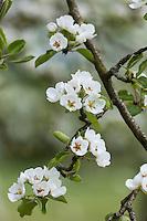 Europe/France/Normandie/Basse-Normandie/50/Manche/Barenton: Poirier en fleur, verger de la Maison de la Pomme et de la Poire