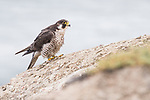 La Jolla, California; a female Peregrine Falcon (Falco peregrinus) resting on a rock at the top of a cliff on an overcast morning with the ocean in the background