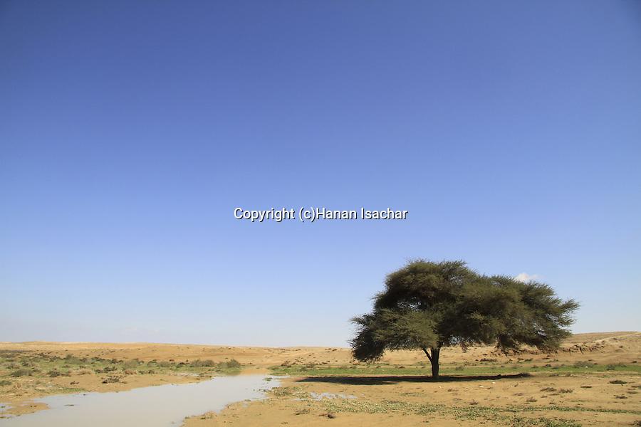 Israel, Negev, Acacia tree near Halutza