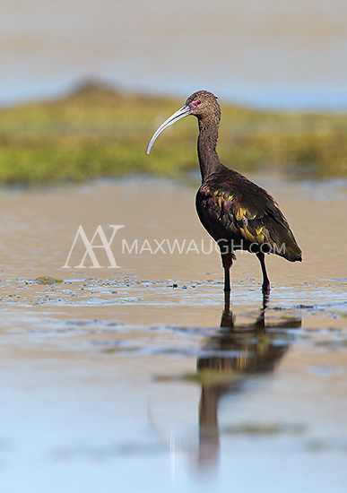 A white-faced ibis (in non-breeding plumage) wanders the shallows of the Yellowstone River.