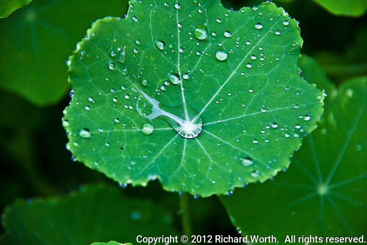 The veins of a nasturtium leaf create their own design of lines as counterpoint to the globes of raindrops.