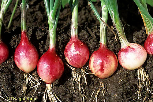 HS16-064x  Onion - soil profile of sweet mini onions - Purplette variety