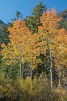 Aspen trees in Methow Valley