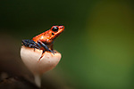 Strawberry Poison-Dart Frog (Oophaga pumilio), Costa Rica. These frogs have neurotoxins that are exuded through the skin. The bright colors are a warning to potential predators.