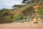 Vegetated red crag cliffs and shingle beach at Bawdsey, Suffolk, England