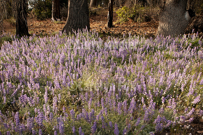 Silver lupine (Lupinus albifrons) covers the forest floor in the El Dorado National Forest near Bear River.