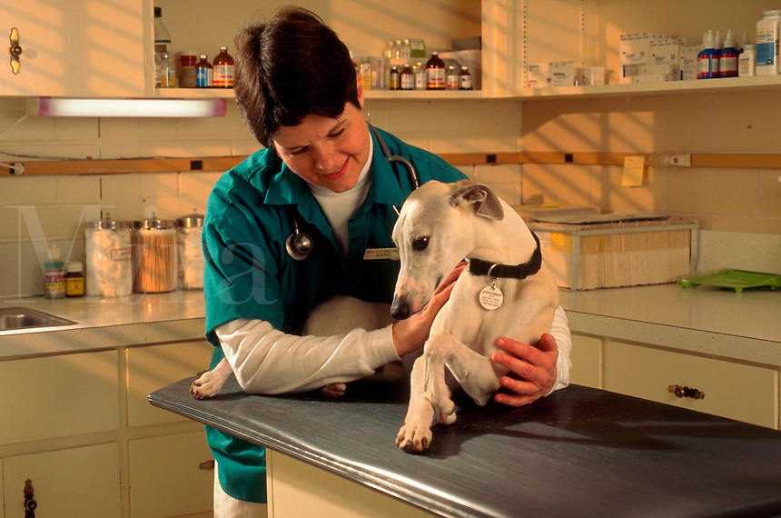 Veterinary tech gently examines a whippet.